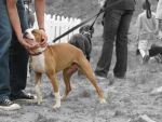 Pit Bulls are... -no text- by solefield