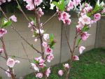 Peach Blossoms by DarkAgePearl