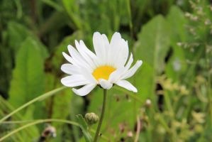 Daisy by Tiger--photography