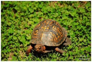 A Terrapin by TheMan268