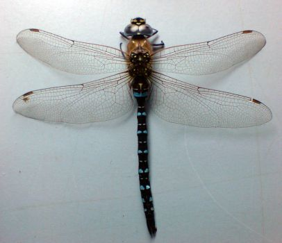 Dragonfly stock image 1 by zpyder