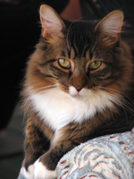 Maine coon mix by PhotographyFace