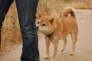 Shiba Inu Following Ivygreane by geniusof2121