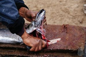 Cleaning snoek - step 1 by AfricanObserver