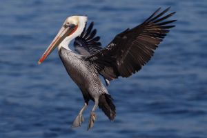 Pelican 4a by ChristopherPayne