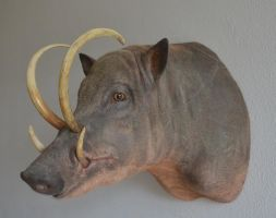 mounted Babyrousa, taxidermy by Museumwinkel