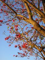 Flame tree by kayne-stock