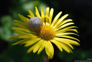 Snail on the flower by Allerlei