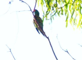Scaly Breasted Lorikete by Dontheunsane