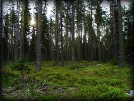 Coniferous forest by shattered737