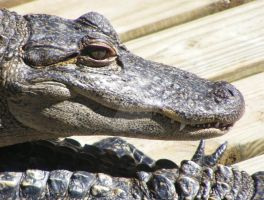 Alligator Smile by RobbiesCornField