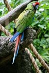 Great green macaw by imaneggplant