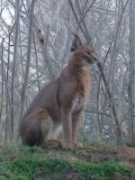 Caracal in Oil by imerald