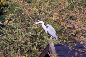 Grey Heron on a Shed by johnyquest31