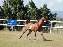 GE Arab pinto cant side 3/4 flowing manetail by Chunga-Stock