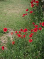 Red poppies by Oorigami