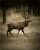 red deer by sho-nee
