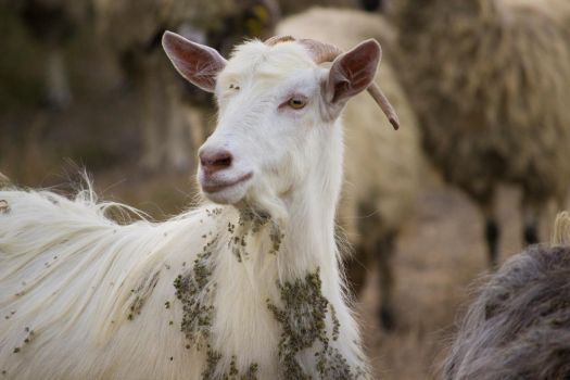 Goat by Corsico