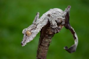 Giant leaf tailed gecko 22 by AngiWallace