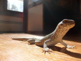 Our baby desert iguana Drazil by DragonKnightDrazil