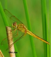 Greennexus51's Dragonfly by GreenNexus51