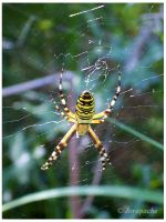 Black and yellow spider by Jorapache