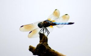 dragonfly by toxicdots