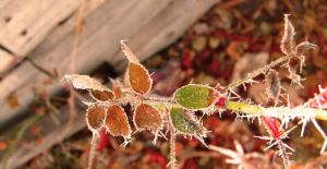 frosted rose leaves by kthehobbit