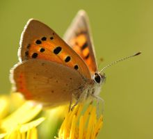 Lycaena phlaeas.o6 by amensis