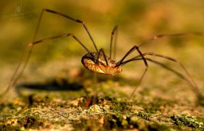 Beautiful Harvestman in the sunshine :3 by TheFunnySpider