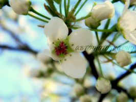 bradford pear by ABT-Photography