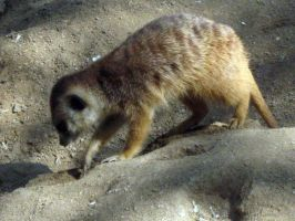 Meercat 14 by my-dog-corky