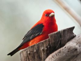 Scarlet Tanager 3 by MichelLalonde