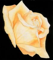 Water color rose Final Project by cutiepie200512345
