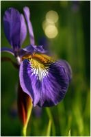 Violet Beauty by Hurriance