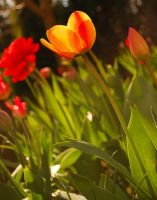 Tulips.2 by Drvall