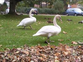 White Swans 10 by Fea-Fanuilos-Stock