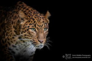 Leopard, KA IV by FGW-Photography