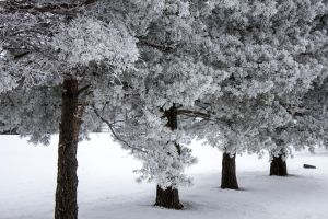 Frosty Trees by Shouldofducked