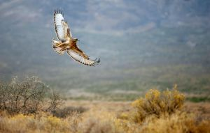 Jackal Buzzard, Tankwa Karoo, South Africa, 2012 by roache7