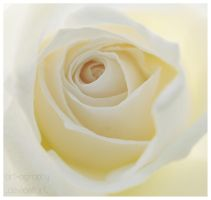 Rose Swirl by Art-ography