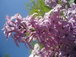 lilacs in the spring by mysteriousfantasy