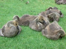 Baby Canada Geese by Greenerd