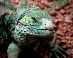 Pretty Iguana by Jud-W