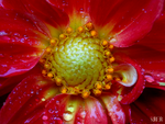 Flower red macro 2000 x 1500 signed by GrahamSurferAndrews