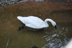 trumpeter swan 2 by meihua-stock
