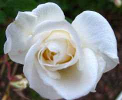 Winter Rose 122014 02 by acurmudgeon