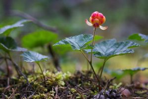 Cloudberry by perost