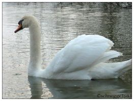 swan 01 by schnegge1984