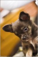 Chihuahua by killerguy